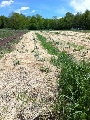 Evening Song Farm is now planting their vegetables on higher ground.