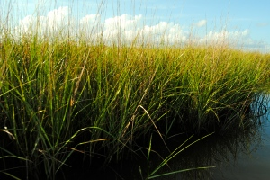 Healthy wetlands sequester carbon as they grow.
