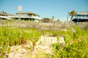 Dune grasses are growing tall at the Bermuda Beach restoration site.