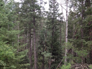 The Santa Fe National Forest now has about 900 trees packed in per acre where there used to be 40--a 'thicket.'
