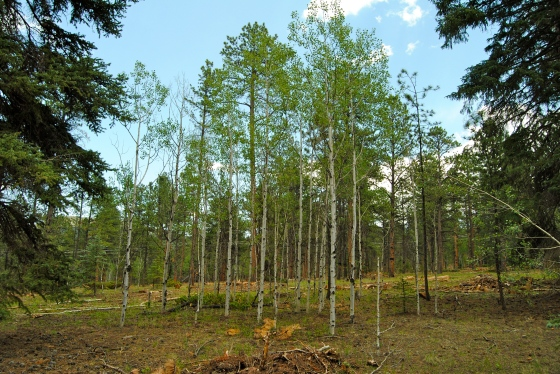 The Woodland Park Healthy Forest Initiative preserves stands of Aspen along with the pines.