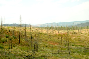 The Hayman fire burned many acres of Colorado's ponderosa pine.