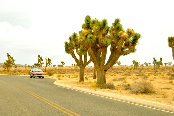 Sienna the minivan chills next to some top-heavy Joshua trees.
