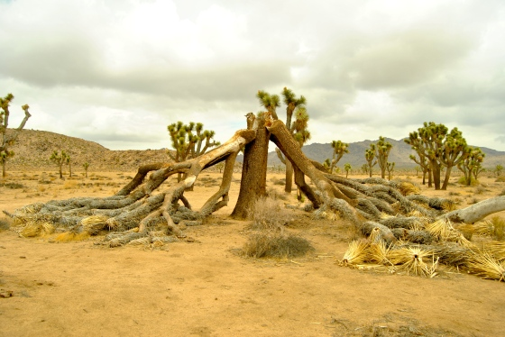 An old Joshua tree that gave up.