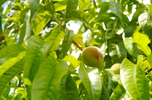 Some ripening peaches at Black Bridge Winery