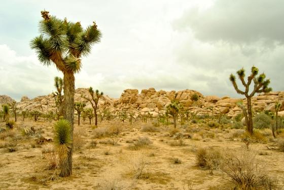 Joshua trees pepper the Mojave Desert in Joshua Tree National Park