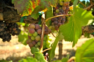 These grapes will make delicious wine thanks to the Napa Valley, California micro-climate