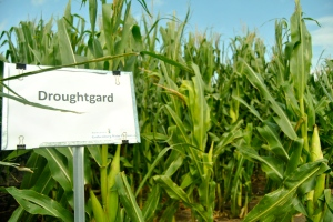 DroughtGard transgenic corn is grown at the Monsanto Water Utilization Learning Center in Gothenburg, Nebraska