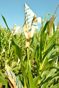 Paper bags are used to crossbreed different corn varieties by keeping the corn stalks from self-pollinating.