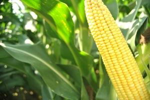 AQUAmax corn
