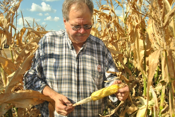 Iowa corn grower David Sieck shows us corn at the 'milky' stage of development.