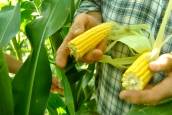 David Sieck planted DuPont Pioneer's Optimum AQUAmax corn this year.