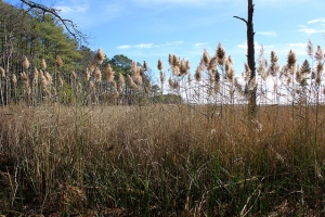 "Phragmites, an invasive grass species, is the ""fly in the ointment"" to Blackwater's adaptation efforts. As salt water intrudes into the forest, ""ghost trees"" like the one pictured provide posts for predatory eagles. 