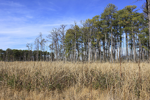 As Blackwater's marsh migrates to higher ground, the species composition in transition zones like this, where marsh meets forest, are key. | Photo: (c) Whitney Flanagan